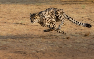 Wilhelma erweitert ihren Gepardenbestand